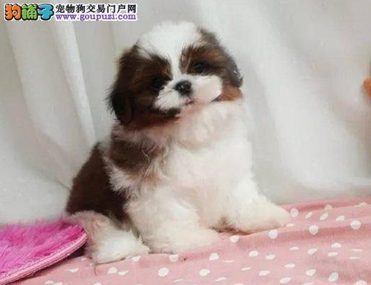出售纯种健康的贵阳西施犬幼犬质量三包完美售后