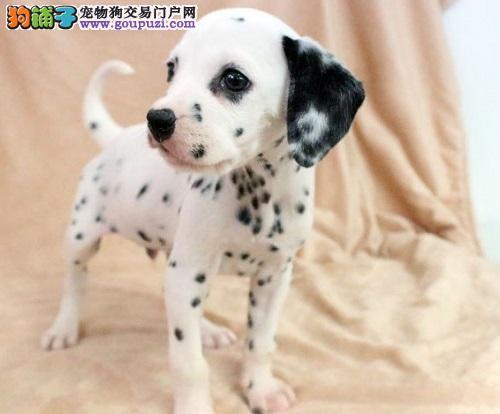 纯种犬基地出售顶级精品大麦町斑点狗幼犬,签订协议!