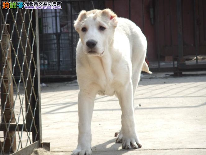自家繁殖的纯种中亚牧羊犬找主人冠军级血统品质保障