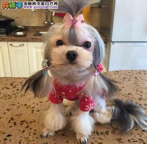 CKU认证犬舍,实物拍摄,赛级精品西施幼犬,终身质保