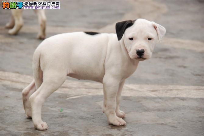 基地出售纯种杜高,杜高幼犬,赛级杜高犬欢迎上门看!