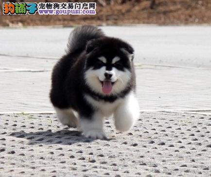 高品质阿拉斯加幼犬,霸气十足绝对拉风,做完疫苗驱虫