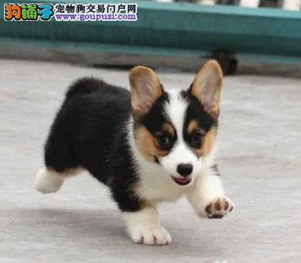 威尔士柯基犬,双色三色皆有,高品质,CKU认证有证书