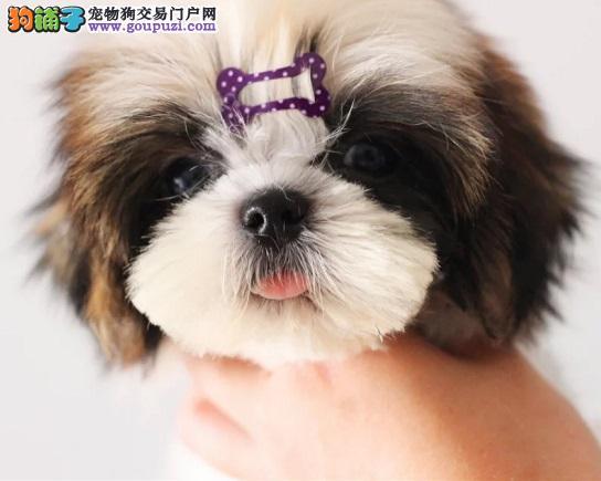 天津家养赛级西施犬宝宝品质纯正全国质保全国送货