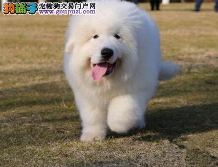 冠军级血系大白熊幼犬,正规签协议,健康纯种血统高贵