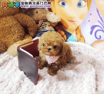 实物照片泰迪犬,韩国血统,颜色齐全,保纯种,保健康