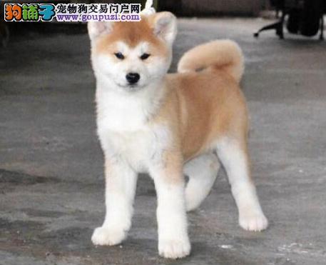 精品秋田犬,赛级犬,证书芯片齐全,签订协议,可空运