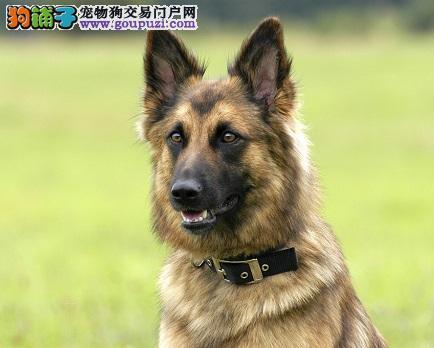 专业培养狼狗,忠诚护主,粗壮敦实,品相完美,可空运