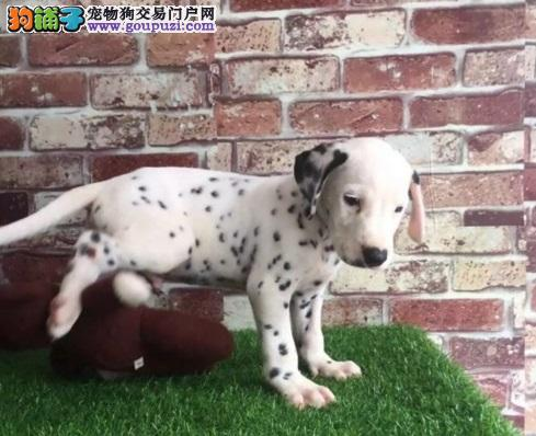 可爱的斑点犬,包健康,纯种,按时防疫