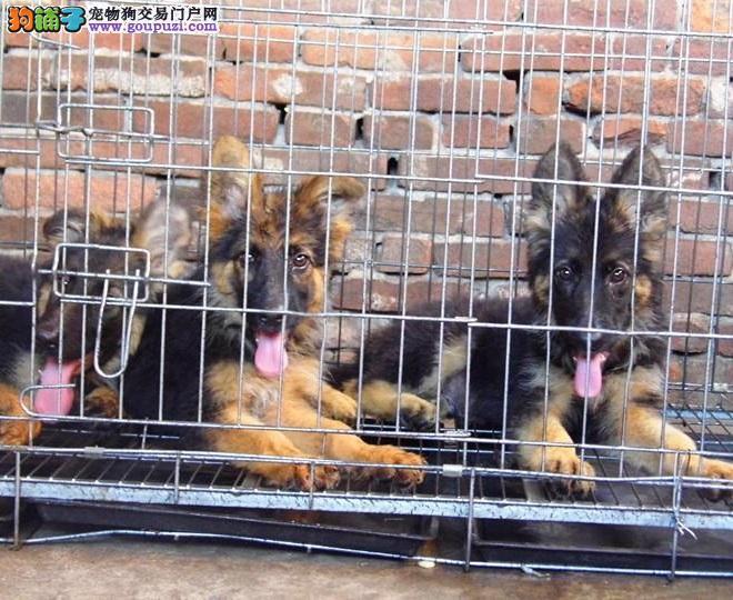CKU认证犬舍出售高品质昆明犬品质血统售后均有保障