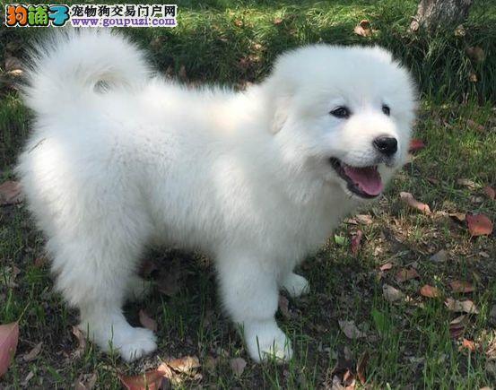 纯种大白熊幼犬,终身品质保障,品相极佳,确保健康