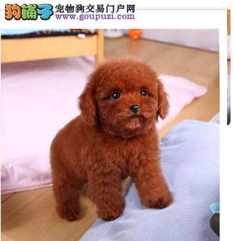 低价热销泰迪犬 专业繁殖血统纯正 签订活体协议