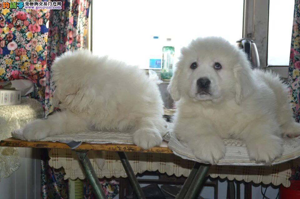 冠军级血系大白熊幼犬/正规签协议/健康纯种/血统高贵
