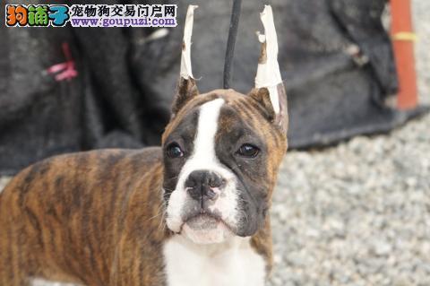 包纯种健康稀有品种拳师幼犬/耳朵已剪/CKU认证