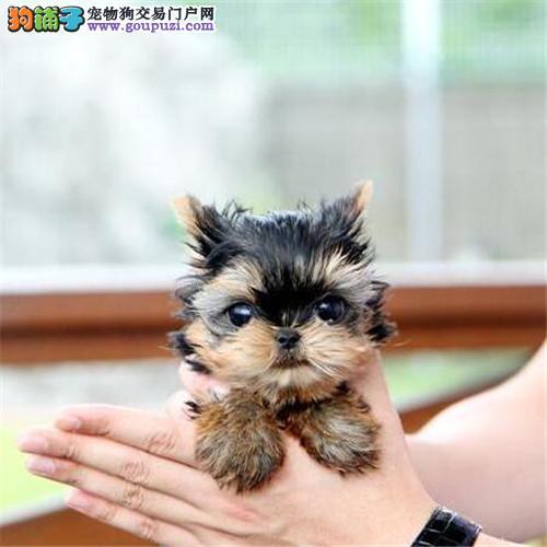 专业繁育韩国纯小体约克夏犬 证书芯片齐全 疫苗已做齐