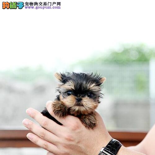 CKU认证繁殖基地低价出售可爱的约克夏幼犬 品质保障