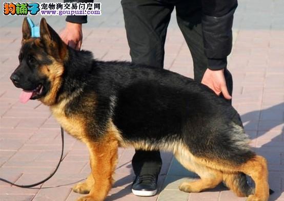 出售纯种健康的昆明犬幼犬诚信经营三包终身协议