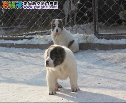 纯种中亚牧羊犬幼犬,假一赔十品质第一,可签保障协议
