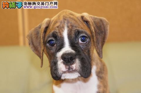 犬舍直销健康稀有品种拳师幼犬/耳朵已剪/CKU认证/快来