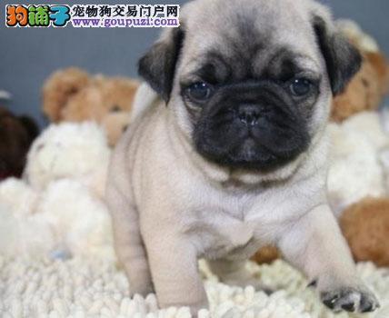 石家庄出售精品巴哥犬实体店包健康售后完美小巴哥幼犬