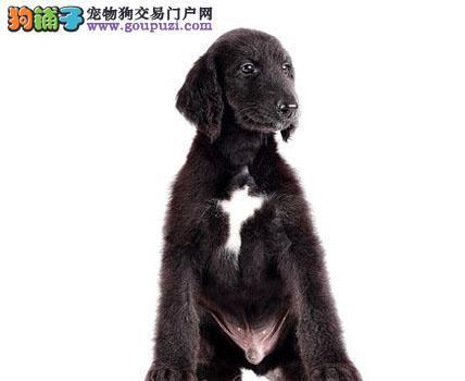极品纯正的阿富汗猎犬幼犬热销中签订协议包细小犬瘟热