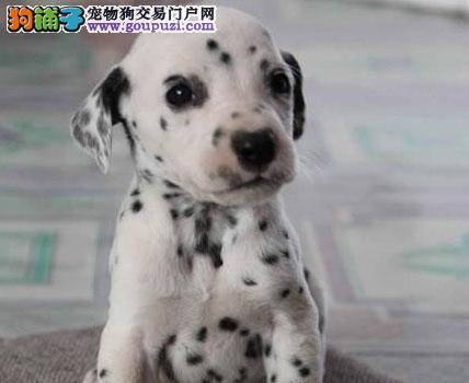 纯种斑点犬,犬舍直销顶级大麦町斑点狗幼犬,签订协议