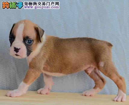包纯种 健康稀有品种 拳师幼犬 耳朵已剪 CKU认证