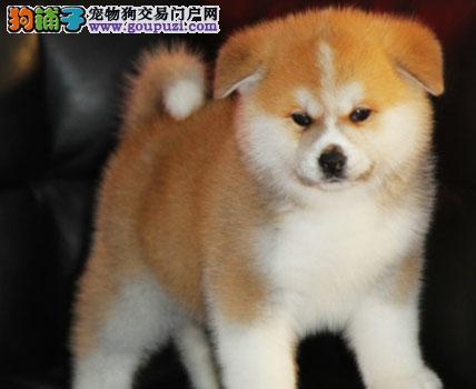 美系日系秋田犬 CKU认证 保纯度 保健康 签署协议