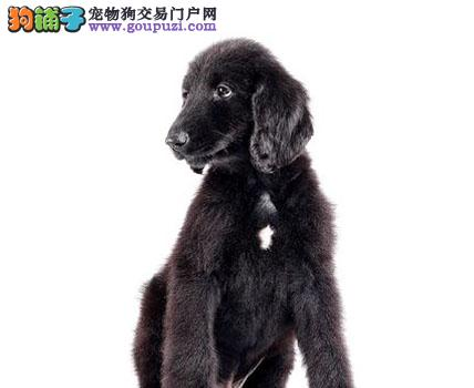 出售颜色齐全身体健康阿富汗猎犬签署各项质保合同