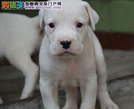 基地出售纯种杜高 杜高幼犬 赛级杜高犬 欢迎上门看