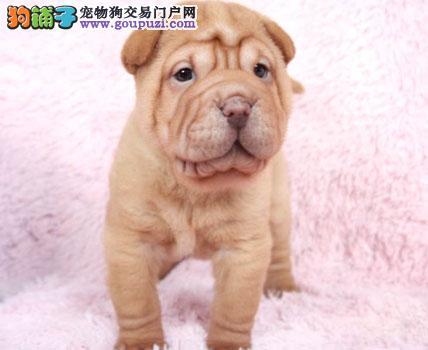 CKU认证 极品 聪明的纯种沙皮狗保证健康 签署协议