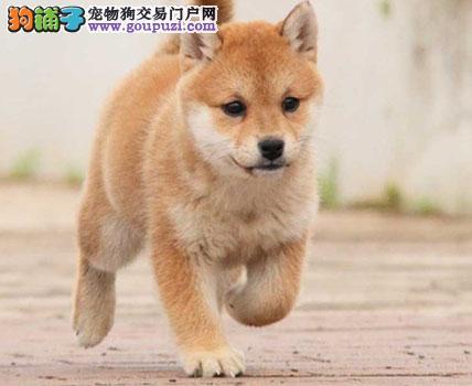 专业繁殖超高智商日本柴犬幼犬 纯种健康 欢迎上门选购
