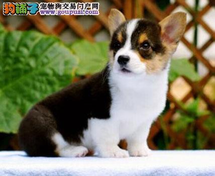 纯种威尔士柯基幼犬 包售后 保纯种 可上门狗签订协议
