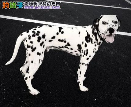 纯种犬基地 出售顶级精品大麦町斑点狗幼犬 签订协议