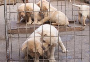 拉布拉多丨专业繁殖丨正规狗场丨纯种健康丨签署协议丨