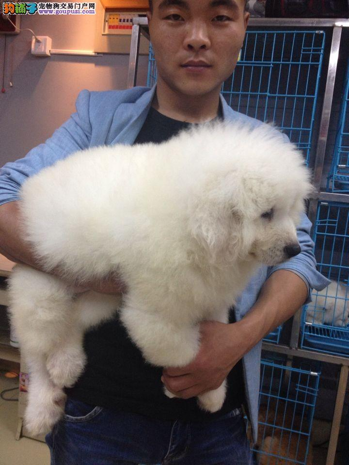 雪兽系赛级大白熊幼犬 骨骼大 毛质好 极品幼犬待售
