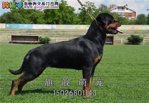 黑龙罗威纳出售自家养犬驱虫已做全国发货