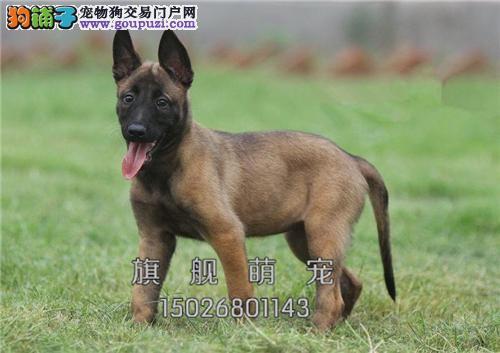 海南马犬出售黑红脸下单有礼全国发货