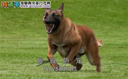 广东本地出售马犬自家养全国发货