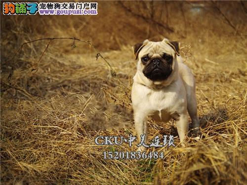 广东巴哥纯种漂亮狗狗送用品全国发货
