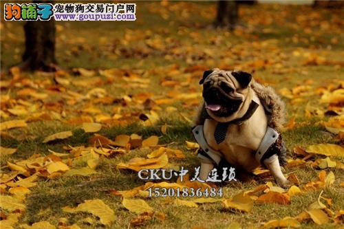 广东最大犬舍巴哥高品相皱皮幼犬全国发货