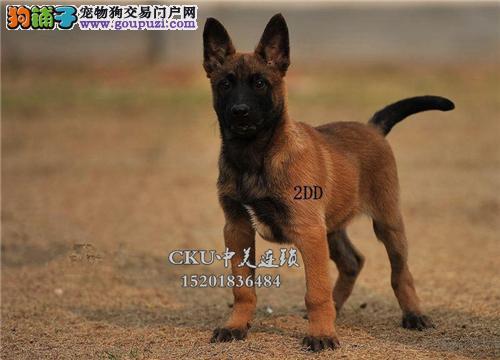 广东出售马犬健康可爱疫苗已做全国发货