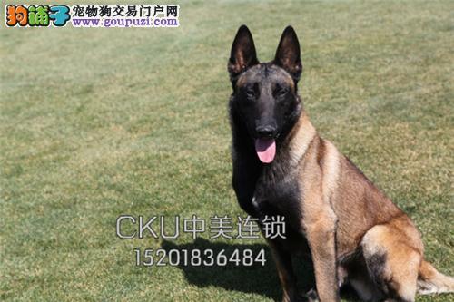 浙江哪里有马犬精品全国包运全国发货