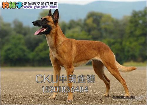 四川哪里有马犬纯种漂亮幼犬待售全国发货