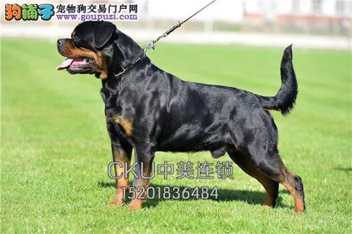 云南哪里有罗威纳极品高品相犬全国发货