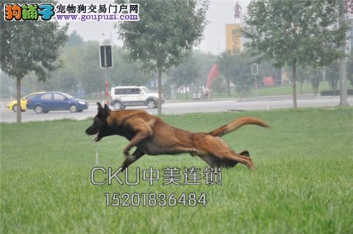 天津马犬出售黑红脸下单有礼全国发货