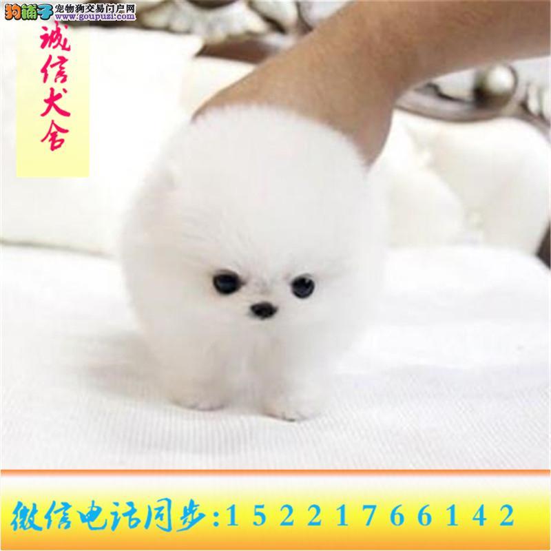 微信同步15221766142 24小时在线 专业出售 博美犬