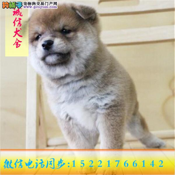 24小时服务!微信15221766142专业出售柴犬