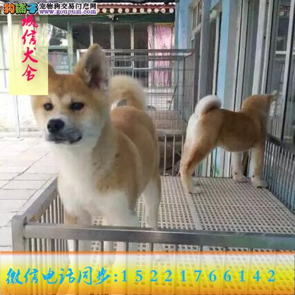 微信同步15221766142 24小时在线 专业出售 秋田犬
