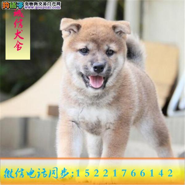 微信同步15221766142 24小时在线 专业出售 柴犬